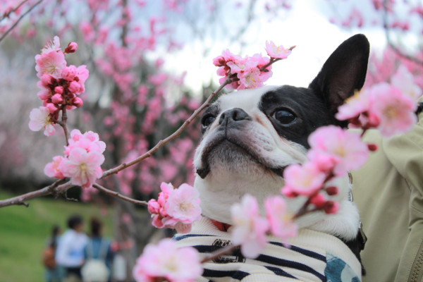 札幌のお花見事情
