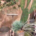 pricks-cactus