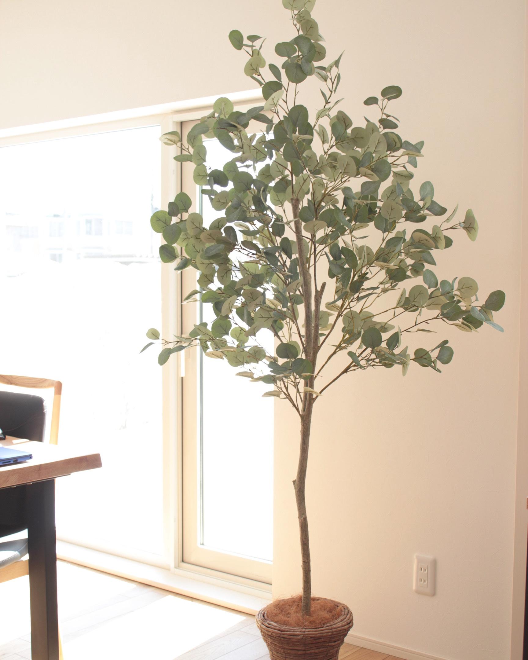 nakagawa-eucalyptus
